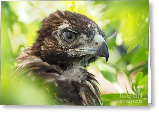 Buteo Jamaicensis Greeting Card