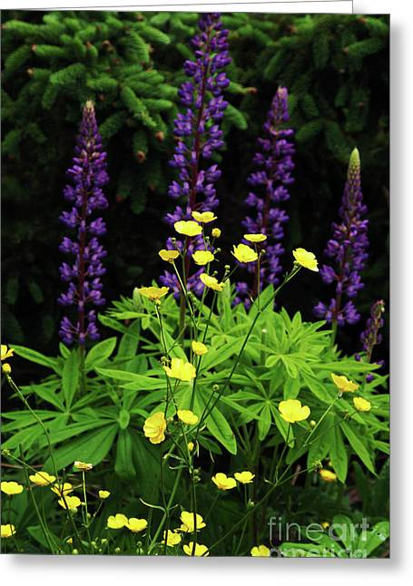 Buttercups And Lupine Greeting Card by Georgia Sheron