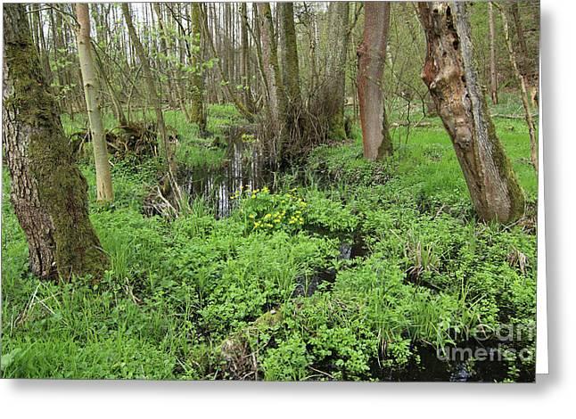 Buttercups In Wetlands Greeting Card by Michal Boubin