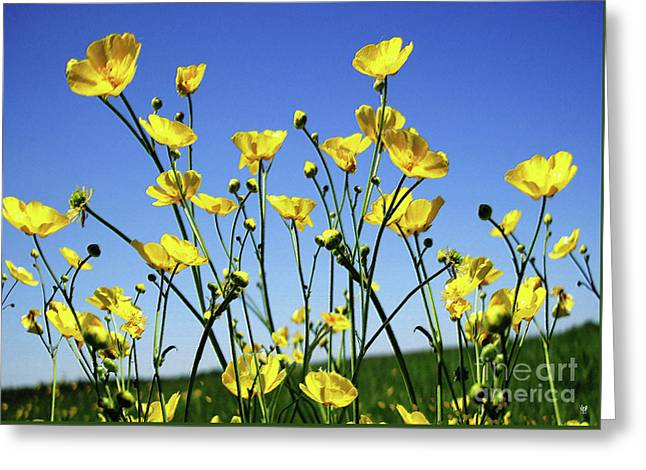Buttercups Greeting Card by Neil Finnemore
