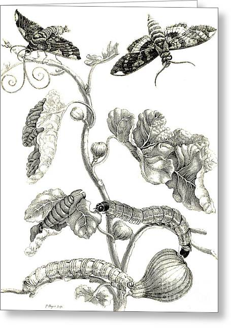 Butterflies, Caterpillars And Plant Greeting Card by Maria Sibylla Graff Merian