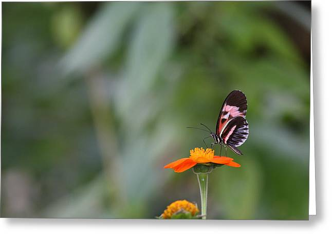 Butterfly 16 Greeting Card