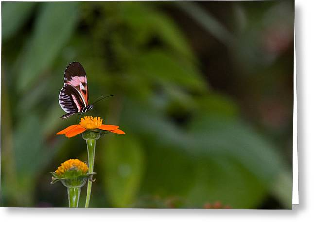 Butterfly 26 Greeting Card
