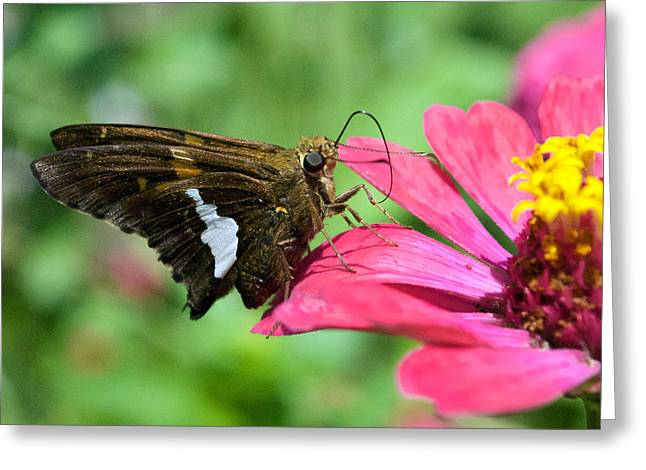 Butterfly 8-5 Greeting Card by Skip Willits