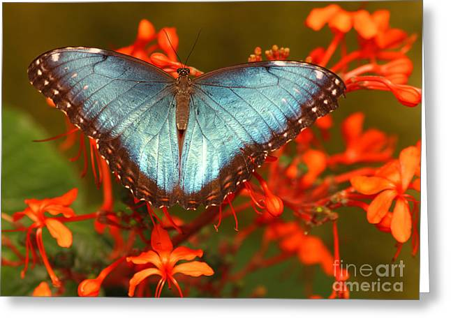 Greeting Card featuring the photograph Butterfly Among The Flowers by Max Allen