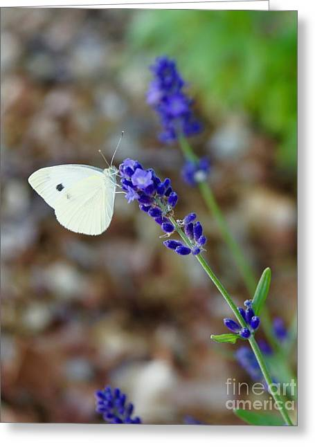 Butterfly And Lavender Greeting Card