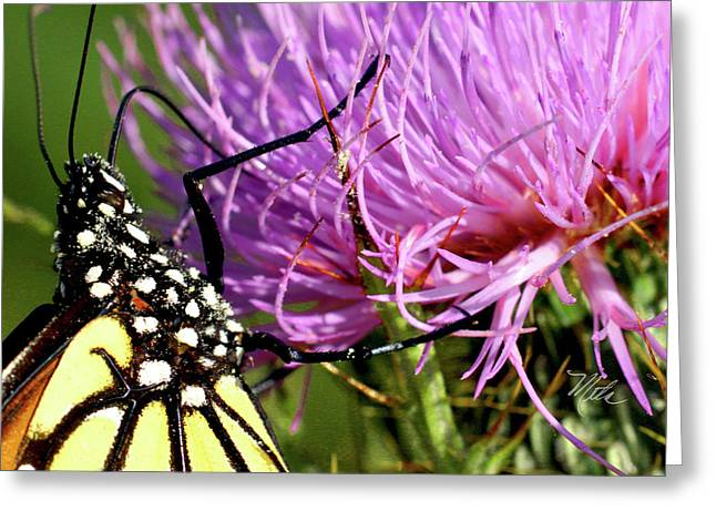 Butterfly On Bull Thistle Greeting Card
