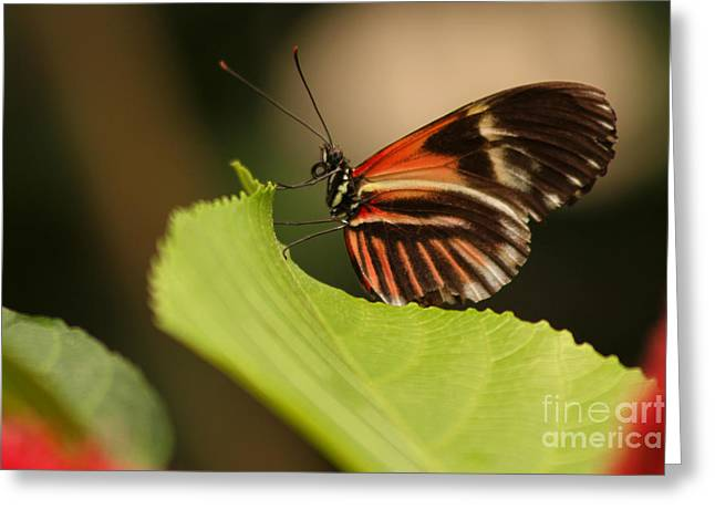 Greeting Card featuring the photograph Butterfly Curling Edge Of Leaf by Max Allen