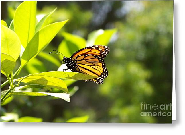 Greeting Card featuring the photograph Butterfly In Sunlight by Carol  Bradley