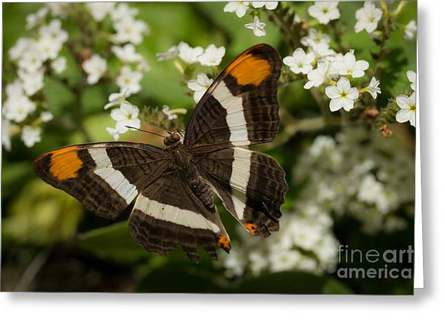 Butterfly In The Garden Greeting Card by Ana V Ramirez