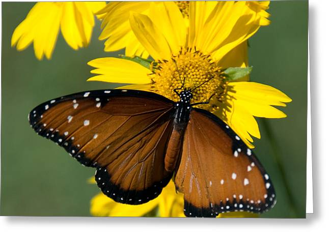Butterfly Kisses Greeting Card by Charles Dobbs
