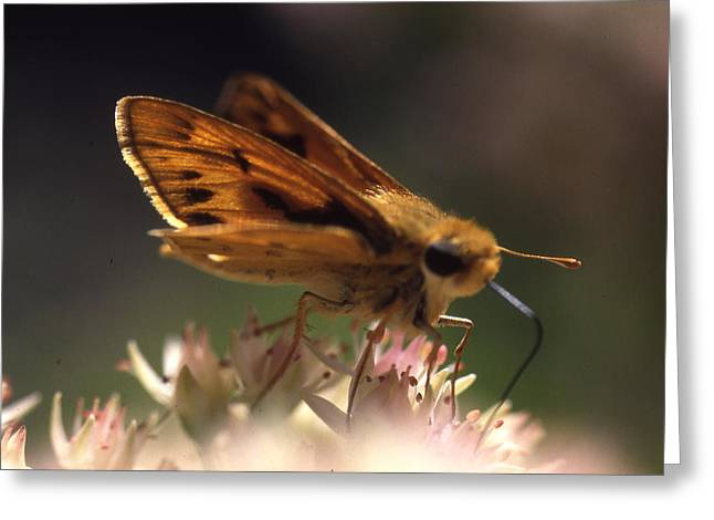 Butterfly-lick Greeting Card