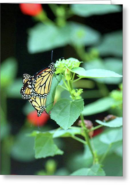 Greeting Card featuring the photograph Butterfly Mating Season by Ellen Barron O'Reilly