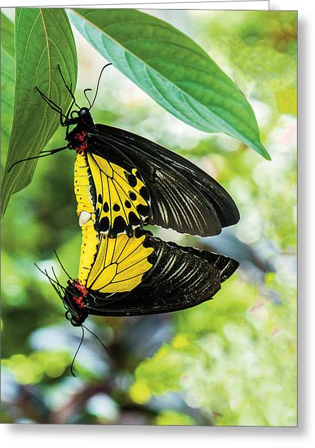 Butterfly Mating Greeting Card