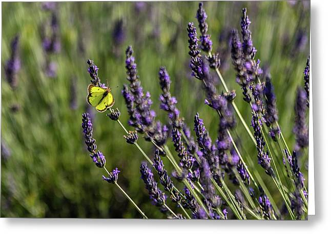Butterfly N Lavender Greeting Card