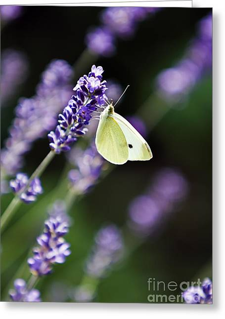 Butterfly On A Lavender Flower Greeting Card