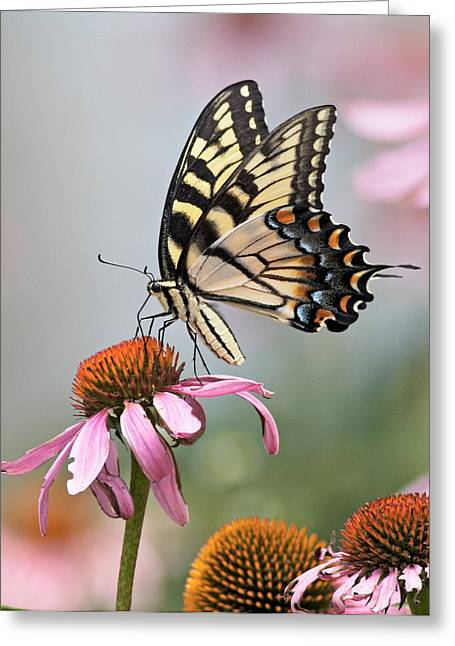 Butterfly On Cone Flower Greeting Card by John Mueller
