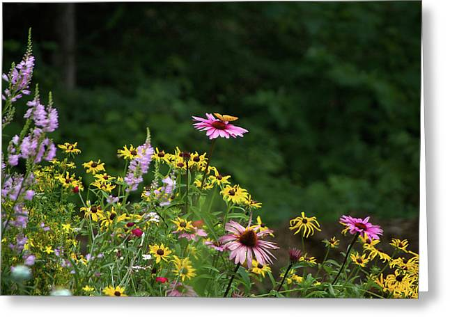 Butterfly On Cone Flower Greeting Card
