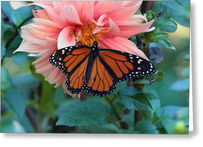 Butterfly On Dahlia Greeting Card