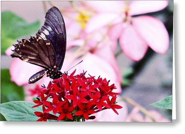 Black Butterfly On Red Flower Greeting Card by Sandy Taylor