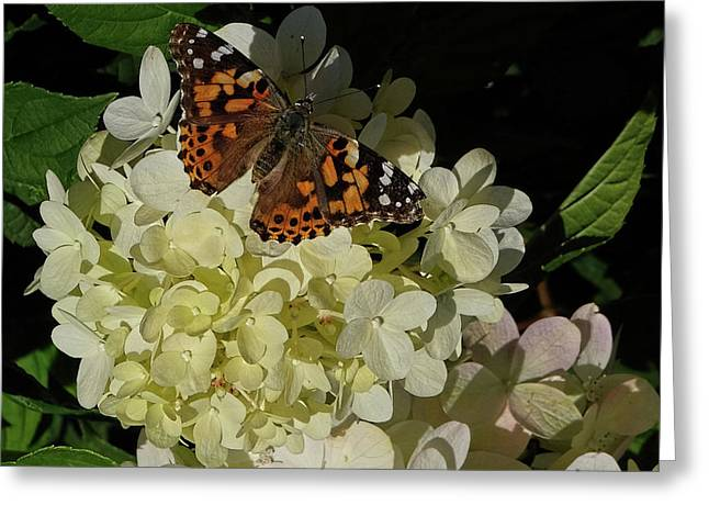Butterfly On Hydrangea Greeting Card