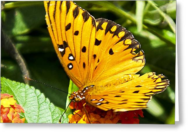 Greeting Card featuring the photograph Butterfly On Lantana by Bill Barber