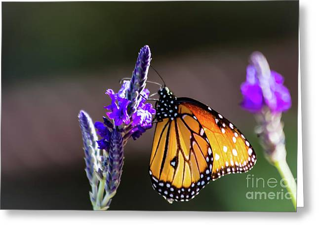 Butterfly On Lavender  Greeting Card by Amy Sorvillo