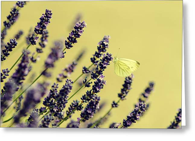 Butterfly On Lavender Flowers Greeting Card