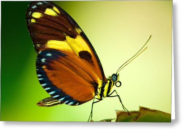 Butterfly On Leaf Greeting Card by Bill Lawry