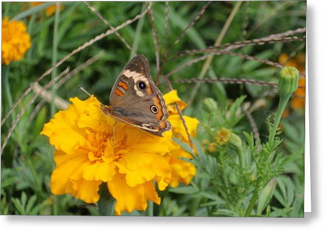 Greeting Card featuring the photograph Butterfly On Marigold by Beth Akerman