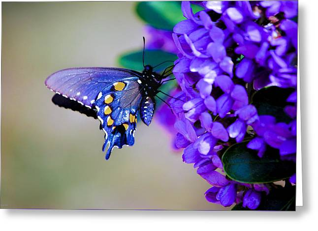 Butterfly On Mountain Laurel Greeting Card by Debbie Karnes