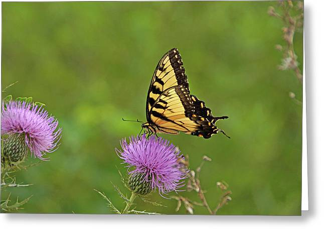 Greeting Card featuring the photograph Butterfly On Thistle by Sandy Keeton