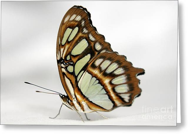 Butterfly On White Satin Greeting Card by Mopics