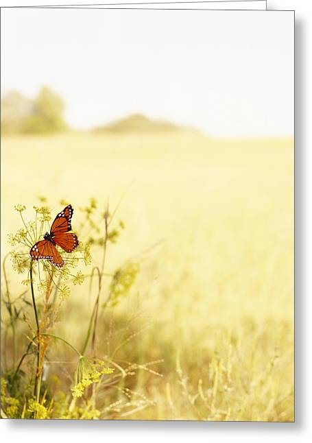 Butterfly On Wildflower In Country Greeting Card