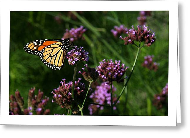Butterfly Greeting Card by Robert Ruscansky