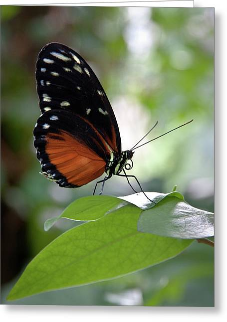 Butterfly Royalty Greeting Card