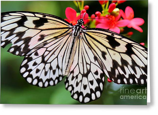 Butterfly Spectacular Greeting Card