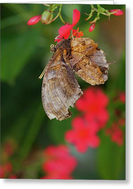 Butterfly Surrounded  By Red Greeting Card