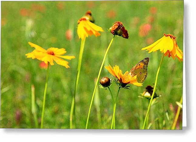 Butterfly  Greeting Card by Toni Hopper
