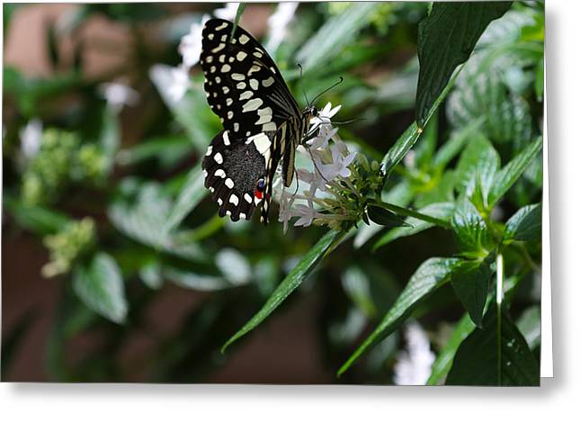 Butterfly V Greeting Card by David Yunker