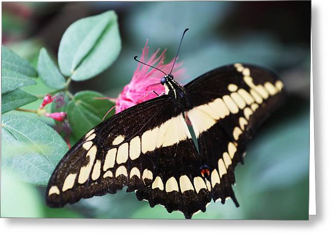 Butterfly Vi Greeting Card by David Yunker