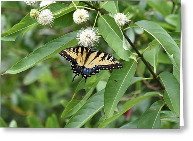 Button Willow Honeyball And Tiger Swallowtail Butterfly Greeting Card by rd Erickson