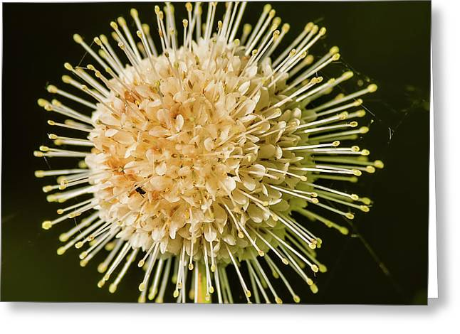 Buttonbush Flowers Greeting Card by Morris Finkelstein