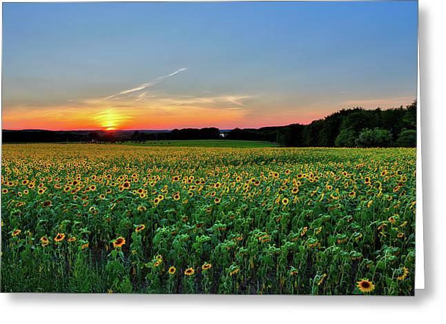 Buttonwood Sunflower Sunset Greeting Card