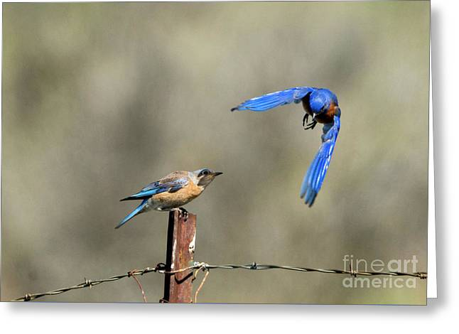Western bluebird greeting cards page 2 of 12 fine art america buzzing by greeting card m4hsunfo Image collections