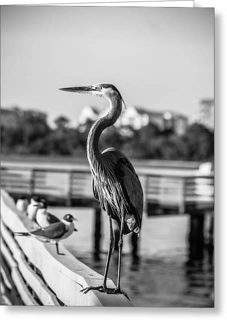 Bw Friendly Heron Greeting Card by Debra Forand