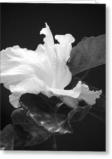 Bw Hibiscus Greeting Card by Bonita Hensley