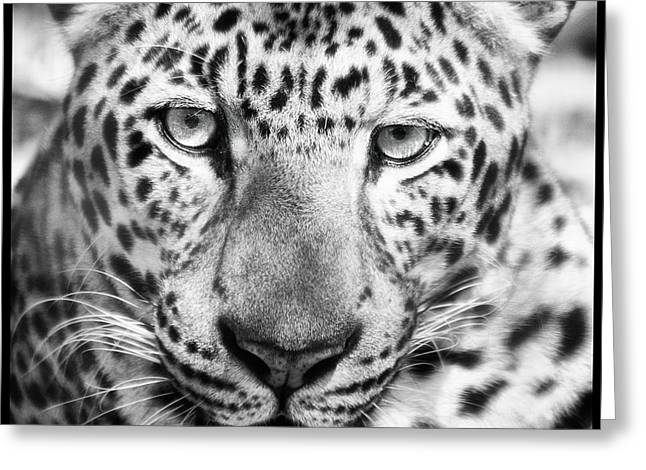 Bw Leopard Greeting Card by Stephanie Hayes