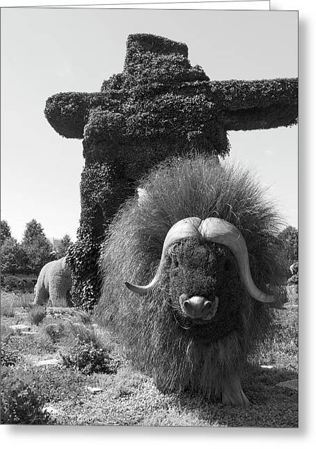 Bw  Of Northwest Territories Entry The Muskoxen Greeting Card
