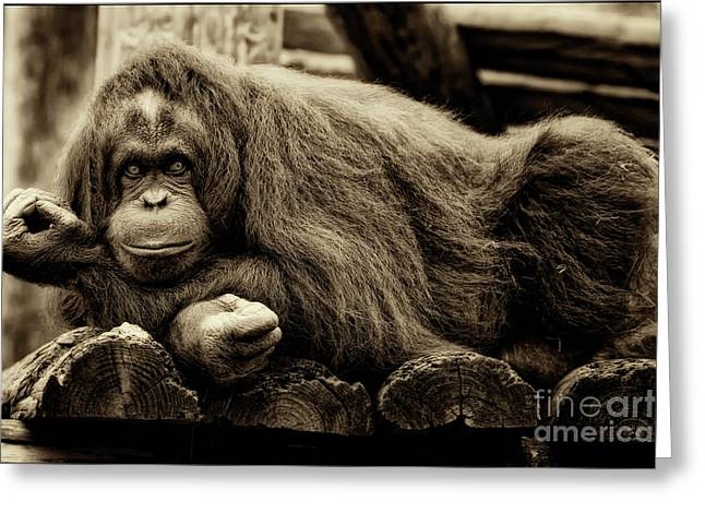 Bw Orangutan Greeting Card by Stephanie Hayes
